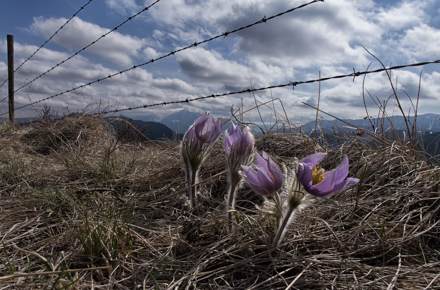 Fenced Crocuses